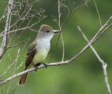 Brown-crested Flycatcher at Hazel Bazemore