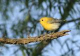 Lynn's Prothonotary Warbler, Birding Center