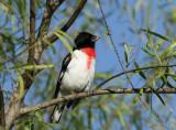 Rose-breasted Grosbeak, Birding Center