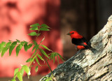 Scarlet Tanager, Packery Channel