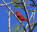 Summer Tanager, Packery Channel