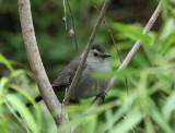 Catbird, Paradise Pond