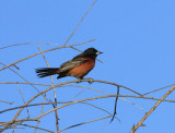 Orchard Oriole, The Willows