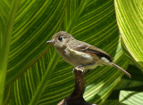 Hutton's Vireo at Warbler Woods