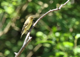 American Goldfinch at Warbler Woods