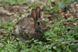 Cottontail at Warbler Woods