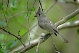 Black-crested Titmouse, Warbler Woods