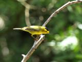 Wilson's Warbler, Warbler Woods