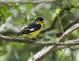 Lesser Goldfinch, Warbler Woods