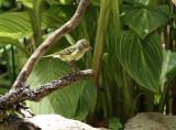 White-eyed Vireo, Warbler Woods