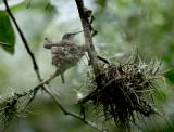 Lynn's Black-chinned Hummingbird, Warbler Woods