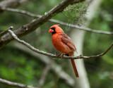 Lynn's Northern Cardinal,  Warbler Woods