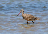 Marbled Godwit, Packery Channel
