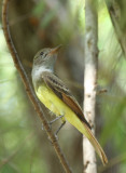 Great-crested Flycatcher, Paradise Pond