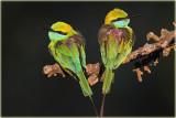 Other Sri Lankan Birds