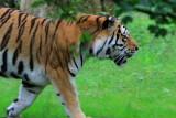 Sibirisk Tiger - Siberian Tiger (Panthera tigris altaica)