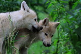 Polarvarg - Arctic Wolf (Canis lupus arctos)
