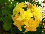 'Yellow PomPom'