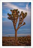 Joshua Tree & Moon, Joshua Tree National Park, California, 2012