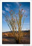 Ocotillo, Joshua Tree National Park, California, 2012