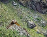 Marmot Haning out Trailside.jpg