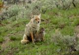 Coyote and pup