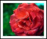 ds20051109_0006a1wF Rose.jpg
