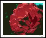 ds20051109_0006a2wF Rose.jpg