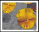 ds20051109_0042a3wF Pansy.jpg