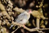 trumpeterfinch-srgb.jpg