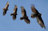 Turkey vulture / Urubu à tête rouge PiJoly