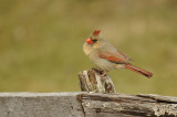 Northern Cardinal  / Cadinal rouge  ( F )