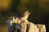 Dark-eyed junco / JUNCO ARDOISE