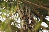 Petit duc maculé / Eastern screech owl