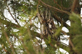 Eastern screech owl / Petit duc maculé