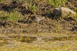 Common Snipe / Bécassine des marais
