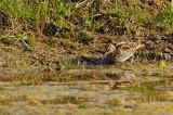 Bécassine des marais / Common Snipe