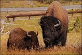 84- Yellowstone National Park Bisons