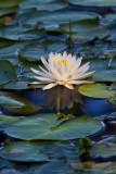 Water Lily at Lake Waccamaw