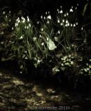 1700-Cherington snowdrops(1)