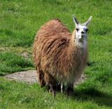 Llama on neighboring property