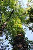 Mature cypress trees