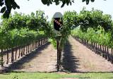 New Clairvaux vineyards