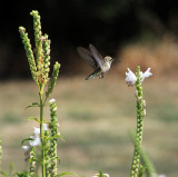 Hummingbird at New Clairvaux winery