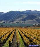 Coastal vineyard after harvest