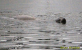 Noyo Harbor seal