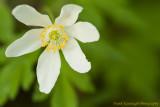 Woodland Flower (Wood Anemone).jpg