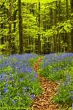 A Path Through A Bluebell Wood.jpg