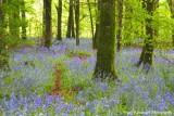 A Bluebell Wood.jpg