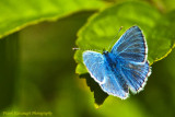 The Common Blue Butterfly.jpg